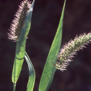 Photographie n°2343105 du taxon Setaria verticillata (L.) P.Beauv. [1812]