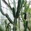 Euphorbia abyssinica J.F.Gmel. [nn125606] par Alain Bigou le 28/05/2019 - Saint Pétersbourg