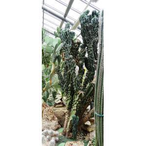 Cereus peruvianus sensu auct. plur. (Cierge d'Uruguay)