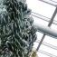 Cereus peruvianus sensu auct. plur. [nn16184] par Alain Bigou le 28/05/2019 - Saint Pétersbourg