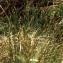 Trichophorum cespitosum (L.) Hartm. [nn68932] par Liliane Roubaudi le 18/06/2000 - Chamonix-Mont-Blanc