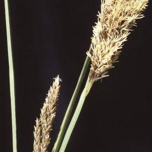 Photographie n°2343304 du taxon Carex paniculata L.