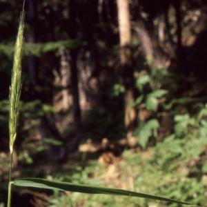 Hordelymus europaeus (L.) Harz (Orge d'Europe)