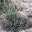 Liliane Roubaudi - Carex extensa Gooden. [1794]