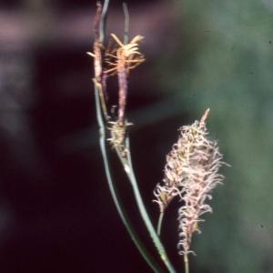 Photographie n°2343540 du taxon Carex flacca Schreb. [1771]