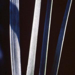Elytrigia elongata (Host) Nevski [1936] (Chiendent allongé)
