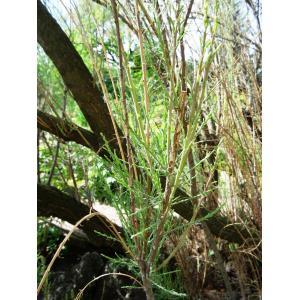 Tamarix ramosissima Ledeb. (Tamaris très ramifié)