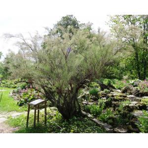 Tamarix ramosissima Ledeb. [1829] (Tamaris très ramifié)