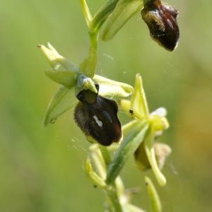 - Ophrys aranifera Huds. [1778]