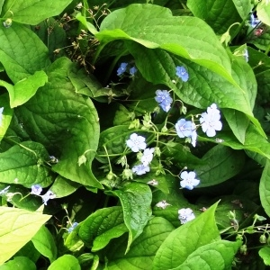 Photographie n°2344269 du taxon Omphalodes verna Moench [1794]