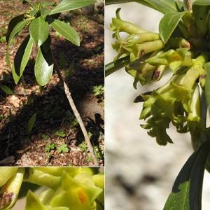 Photographie n°2344532 du taxon Daphne laureola L. [1753]