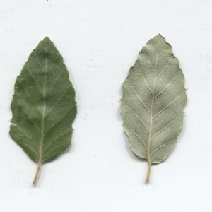 Photographie n°2345182 du taxon Quercus suber L. [1753]