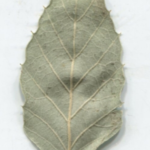 Photographie n°2345183 du taxon Quercus suber L. [1753]
