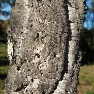 Photographie n°2345185 du taxon Quercus suber L. [1753]