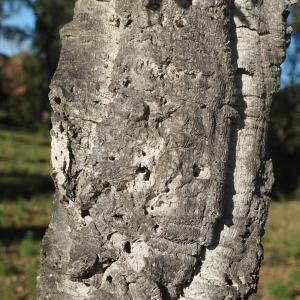 Photographie n°2345186 du taxon Quercus suber L. [1753]