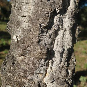 Photographie n°2345188 du taxon Quercus suber L. [1753]