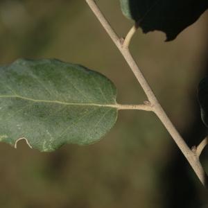 Photographie n°2345191 du taxon Quercus suber L. [1753]