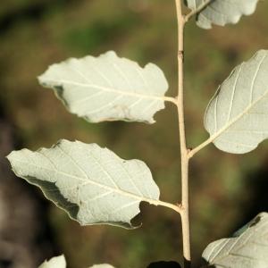 Photographie n°2345194 du taxon Quercus suber L. [1753]