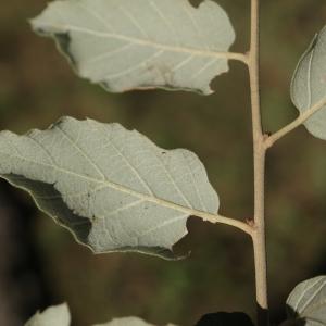 Photographie n°2345195 du taxon Quercus suber L. [1753]