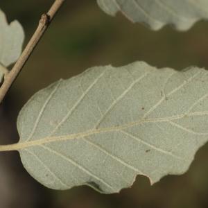 Photographie n°2345196 du taxon Quercus suber L. [1753]