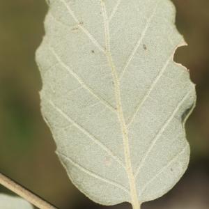 Photographie n°2345197 du taxon Quercus suber L. [1753]