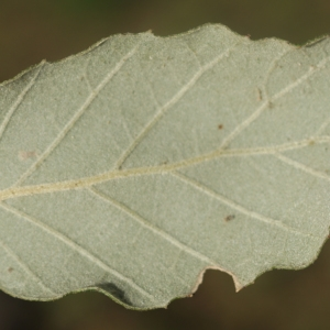 Photographie n°2345198 du taxon Quercus suber L. [1753]