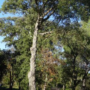 Photographie n°2345199 du taxon Quercus suber L. [1753]