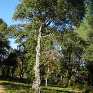 Photographie n°2345200 du taxon Quercus suber L. [1753]