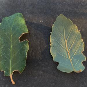 Photographie n°2345201 du taxon Quercus suber L. [1753]