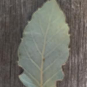 Photographie n°2345205 du taxon Quercus suber L. [1753]