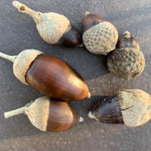 Photographie n°2345206 du taxon Quercus suber L. [1753]