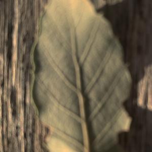 Photographie n°2345208 du taxon Quercus suber L. [1753]