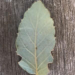 Photographie n°2345209 du taxon Quercus suber L. [1753]