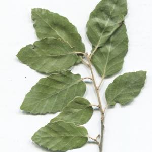 Photographie n°2345210 du taxon Quercus suber L. [1753]