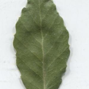 Photographie n°2345211 du taxon Quercus suber L. [1753]