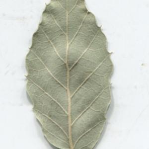 Photographie n°2345212 du taxon Quercus suber L. [1753]