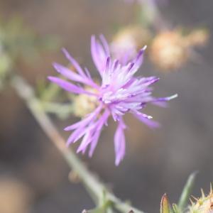 Photographie n°2345280 du taxon Centaurea paniculata L. [1753]
