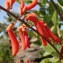 Erythrina senegalensis A. DC. [nn63855] par Sylvain Piry le 02/12/2019 - Ziguinchor