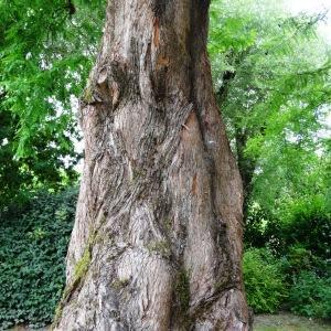 Metasequoia glyptostroboides Hu & W.C.Cheng (Séquoia de Chine)