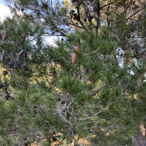 Photographie n°2345905 du taxon Pinus halepensis Mill. [1768]