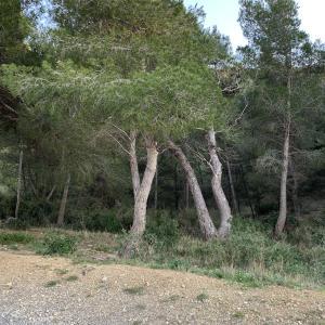 Photographie n°2345907 du taxon Pinus halepensis Mill. [1768]