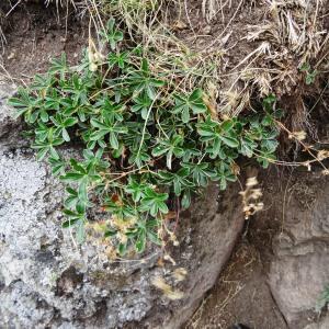 Photographie n°2345984 du taxon Alchemilla alpina L.