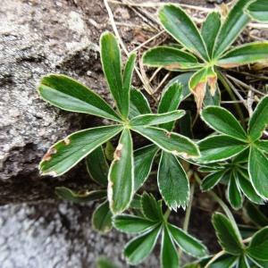 Photographie n°2345986 du taxon Alchemilla alpina L.