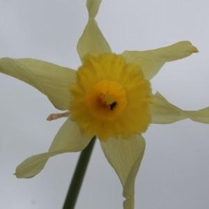 Photographie n°2346154 du taxon Narcissus pseudonarcissus L. [1753]