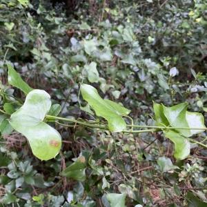 Photographie n°2346325 du taxon Smilax aspera L. [1753]