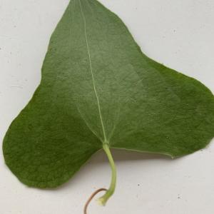 Photographie n°2346328 du taxon Smilax aspera L. [1753]