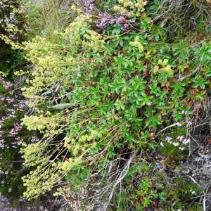 Photographie n°2346389 du taxon Alchemilla alpina L.