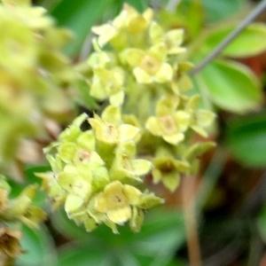 Photographie n°2346390 du taxon Alchemilla alpina L.