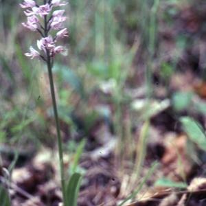Photographie n°2346477 du taxon Cephalanthera rubra (L.) Rich. [1817]