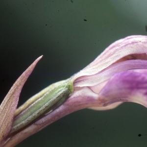 Photographie n°2346480 du taxon Cephalanthera rubra (L.) Rich. [1817]